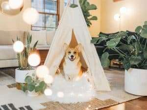 Puppy Products, Puppy Training, Dog Trainer, Corgi in a Tee-Pee