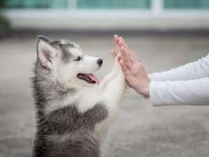 Puppy Training, Husky Puppy, Paws, Dog Training