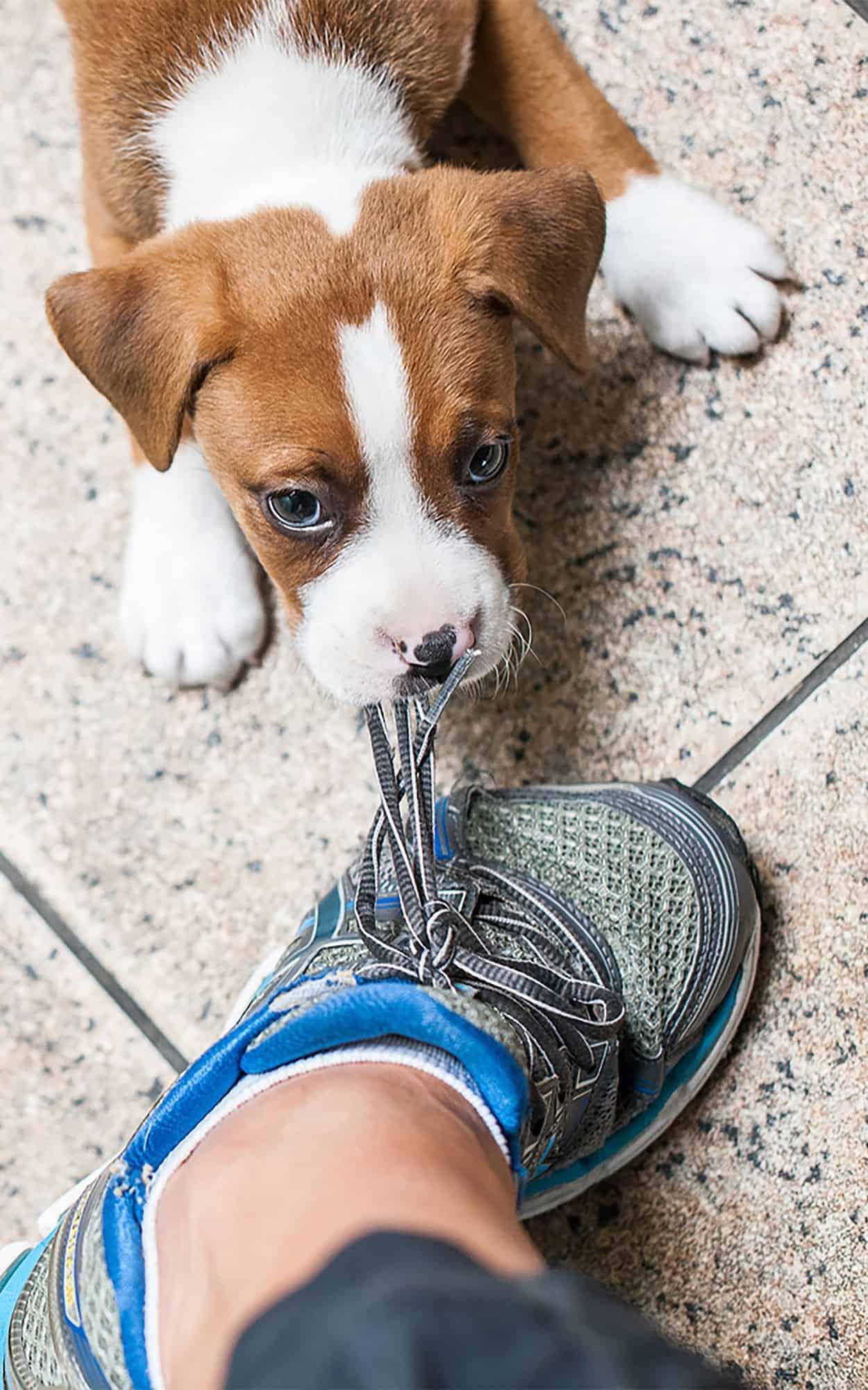 Shiba Inu Puppy | Puppy Advice